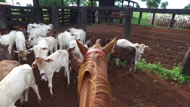 pov horse riding in a corral full of calfs - corral stock videos & royalty-free footage