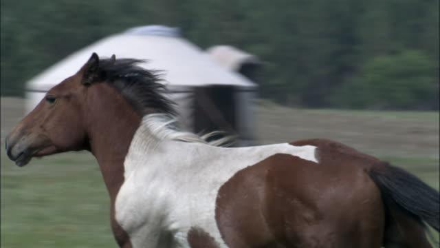 Horse runs through herd, Inner Mongolia, China