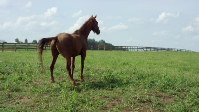 a horse stands up, frolics, and bucks in a fenced-in pasture on a farm on a sunny morning - bucking stock videos & royalty-free footage