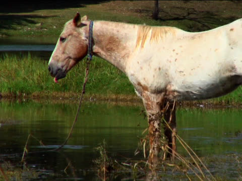 horse tied in a pond - hooved animal stock videos & royalty-free footage