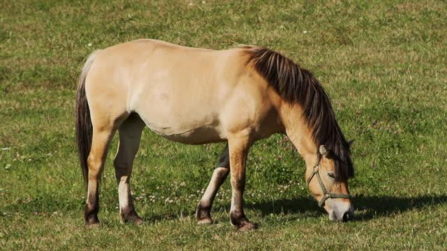 horse - zugpferd stock-videos und b-roll-filmmaterial
