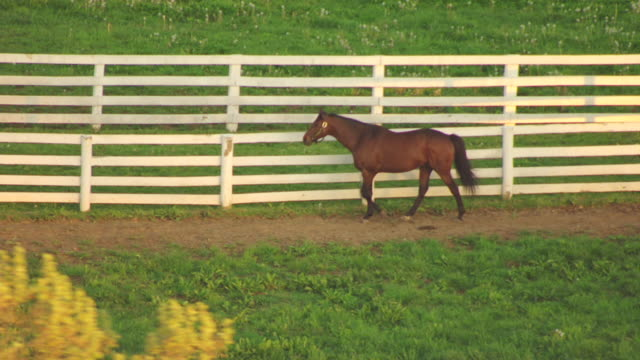 ms aerial horse walking by fence at calumet farm / versailles, kentucky, united states - kentucky stock videos & royalty-free footage