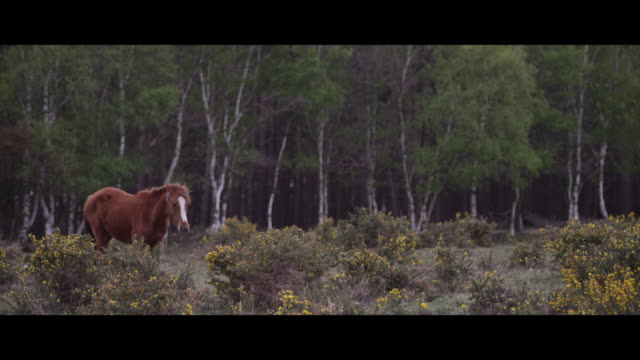 stockvideo's en b-roll-footage met a horse walking through gorse - hampshire engeland
