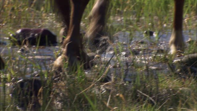 a horse walks over flooded ground. - huf stock-videos und b-roll-filmmaterial