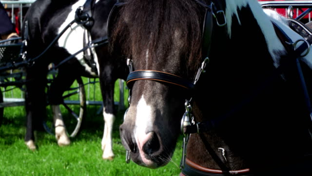 4k: horse with blinkers - animal harness stock videos and b-roll footage