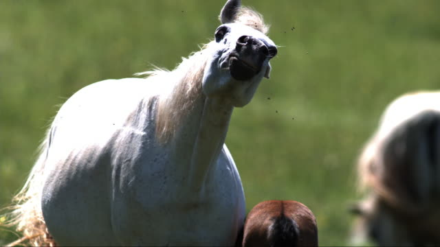 slomo ms horse with foal shaking its head to move flies around its face - young animal stock-videos und b-roll-filmmaterial