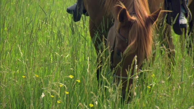 cu horse with rider grazing in meadow of tall grass / stevensville, montana, usa - tierfarbe stock-videos und b-roll-filmmaterial
