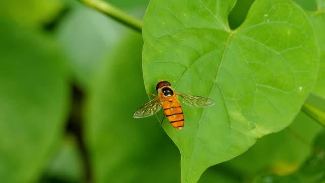 horseflies on green leaf. - biomedical illustration stock videos & royalty-free footage
