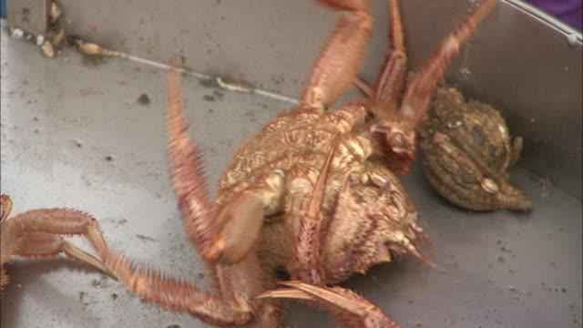 vídeos de stock e filmes b-roll de horsehair crabs and whelks are sorted on a metal catch tray. - grupo mediano de animales