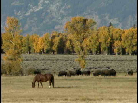 zo, ws, horses and buffalos grazing in field, mountains in background, wyoming, usa - medium group of animals stock videos & royalty-free footage