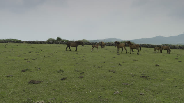 Horses (Equus ferus caballus) and foal in field. Japan.