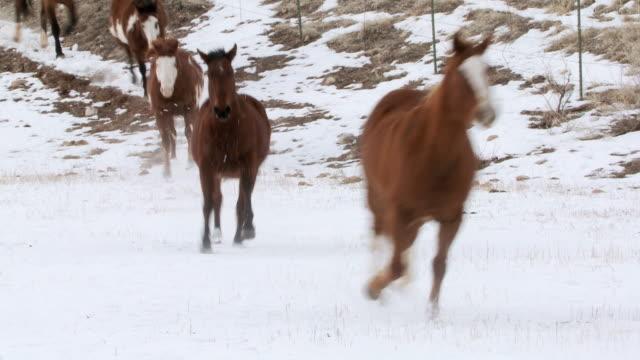 vídeos y material grabado en eventos de stock de ws horses cantering in the snow / shell, wyoming, united states - galopar