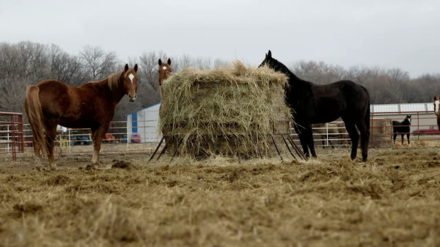 horses eating straw - hay stock videos & royalty-free footage