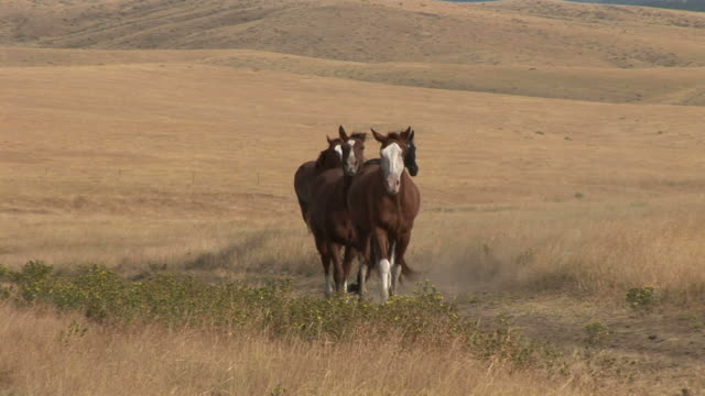 horses galloping along the grass field in montana united states - alm stock-videos und b-roll-filmmaterial