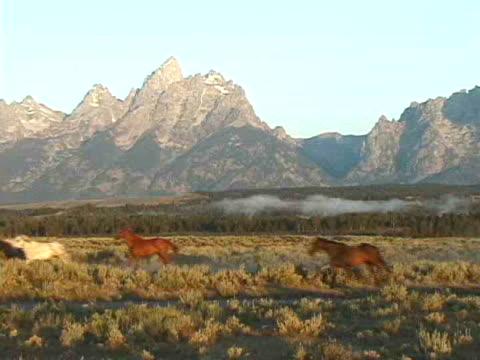 ms, pan, horses galloping in field at teton mountains, grand teton national park, wyoming, usa - galoppieren stock-videos und b-roll-filmmaterial