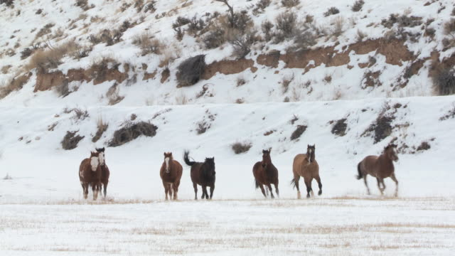vídeos y material grabado en eventos de stock de pan horses galloping in snow across white field / shell, wyoming, united states - galopar