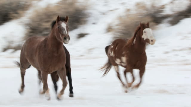 PAN Horses galloping in the snow / Shell, Wyoming, United States