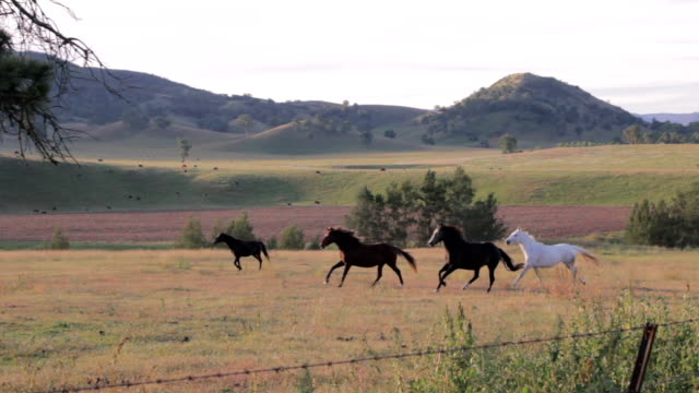 horses galloping through a field - country and western stock videos and b-roll footage