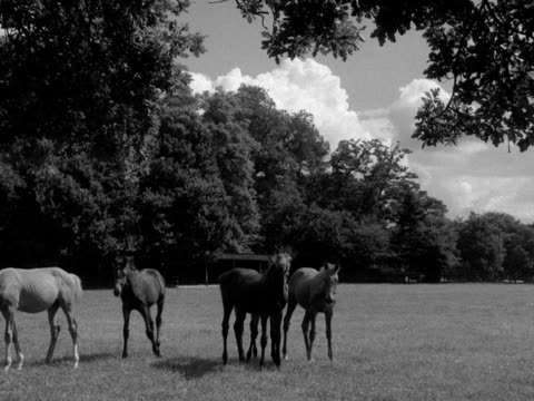 horses graze in a paddock in the grounds of cliveden house. - pferdeartige stock-videos und b-roll-filmmaterial