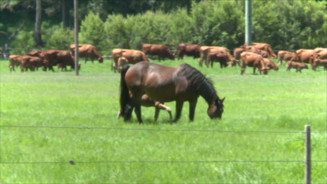 horses graze in lush green paddock with cows in background in same paddock mare and foal walk horses walk through shot in foreground / close up mare...