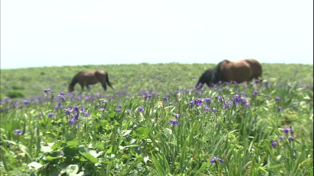Horses graze near Arctic Iris wildflowers at Ayamegahara Primeval Flower Garden in Akkeshi, Japan.