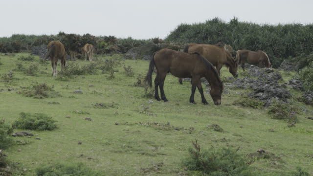 Horses (Equus ferus caballus) graze on cliff top. Japan.