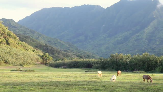 ws pan horses grazing at landscape of mountains / kauai, hawaii, united states - liten djurflock bildbanksvideor och videomaterial från bakom kulisserna