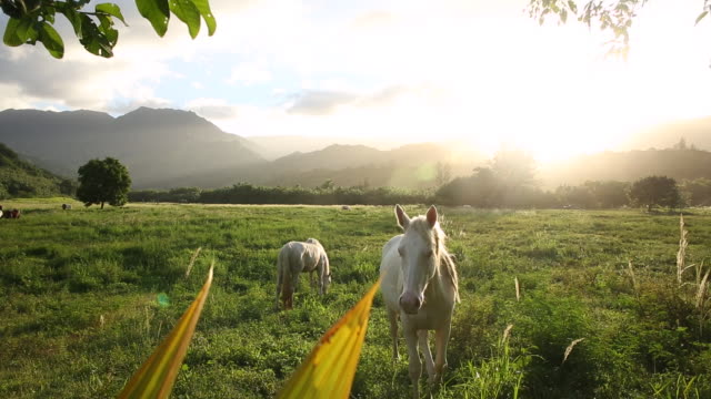 vídeos de stock e filmes b-roll de horses grazing in a field on the island of kauai with the sun setting behind them - kauai