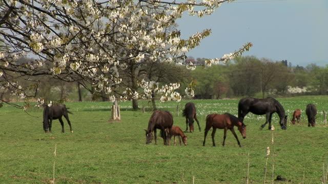 ws, horses grazing in field, apple blossom in foreground, ljubljansko barje, slovenia - slovenia meadow stock videos & royalty-free footage