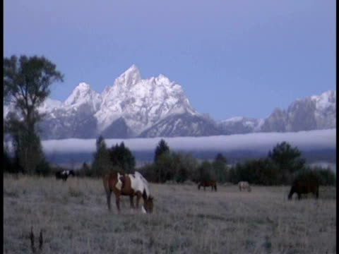 ms, horses grazing in field at snow capped teton mountains at twilight, grand teton national park, wyoming, usa - parco nazionale del grand teton video stock e b–roll