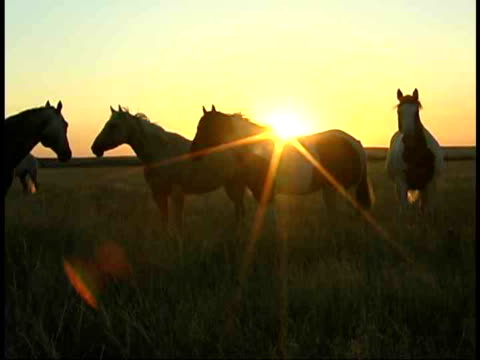 cu, horses grazing in field at sunset, south dakota, usa - small group of animals stock videos & royalty-free footage
