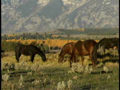 zo, ms, horses grazing in field at teton mountains, grand teton national park, wyoming, usa - piccolo gruppo di animali video stock e b–roll