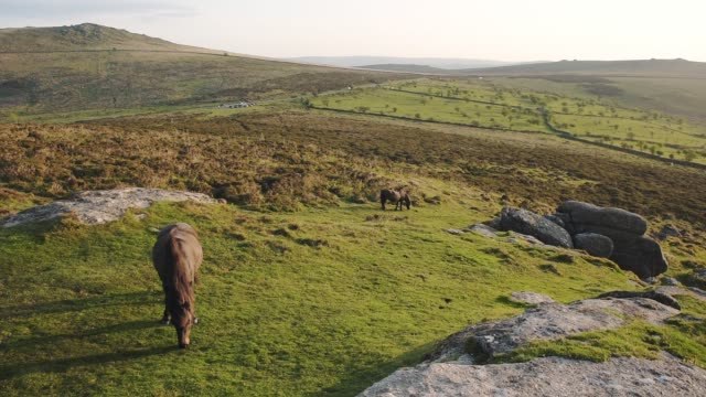 horses grazing on dartmoor national park moorland landscape, england, on a sunny evening - grazing stock videos & royalty-free footage