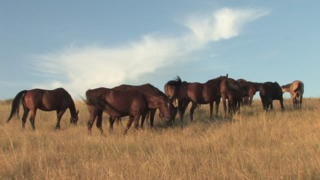 ms horses  herd grazing on great plains in tall grasses / pine ridge, south dakota, united states    - great plains stock videos & royalty-free footage