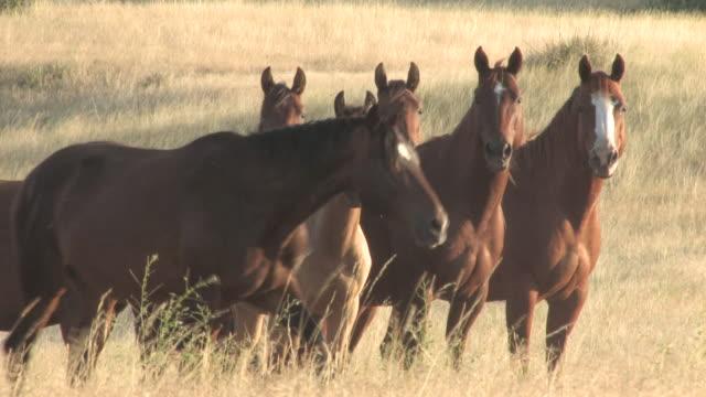 ms horses herd standing in tall grasses / pine ridge, south dakota, united states    - riserva dei nativi d'america video stock e b–roll