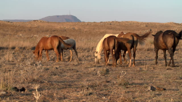 horses in dry pasture, at the end of summer, israel - 哺乳類点の映像素材/bロール