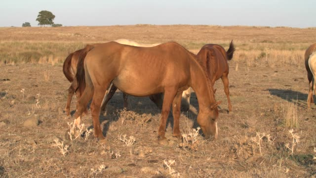 Horses in dry pasture, at the end of summer, Israel