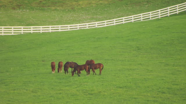 MS AERIAL Horses in field at Calumet Farm / Versailles, Kentucky, United States