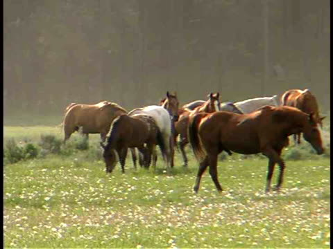 ms, pan, horses in field at sun rise, wyoming, usa - medium group of animals stock videos & royalty-free footage