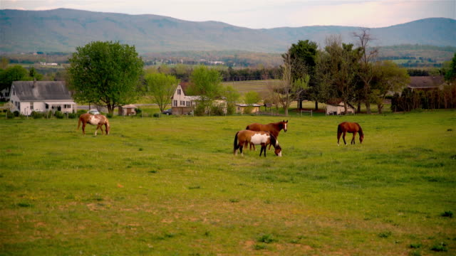 Horses in the meadows in front of Appalachian Mountains nearby N Valley Pike, Virginia, USA