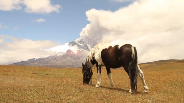 vídeos de stock, filmes e b-roll de horses living freely in ecuadorian highlands while cotopaxi volcano rises it's eruption activity. - pasture