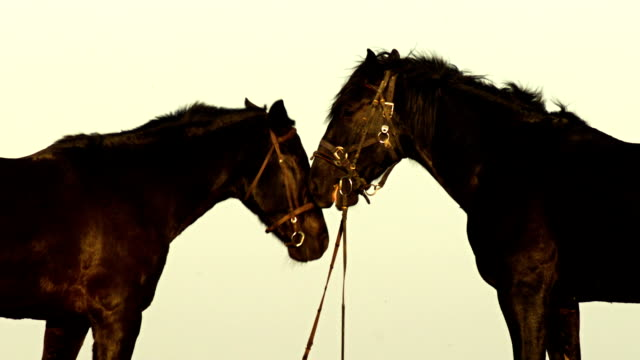 horses mating - horse stock videos & royalty-free footage