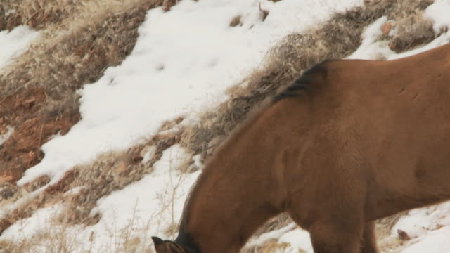slo mo ms pan horses moving about in snow / shell, wyoming, usa - wyoming ranch stock videos & royalty-free footage