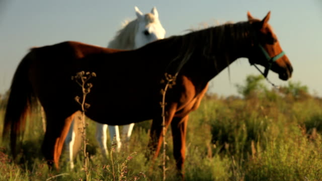 horses on a field. - uruguay stock videos & royalty-free footage