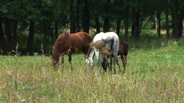 vídeos de stock, filmes e b-roll de hd: cavalos em um prado - grupo pequeno de animais