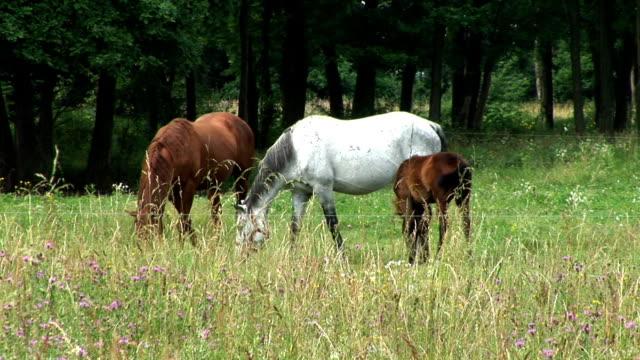vidéos et rushes de hd : chevaux dans la prairie - petit groupe d'animaux