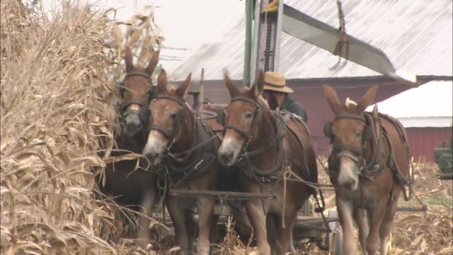 vídeos de stock e filmes b-roll de horses pull a machine which is processing corn at an amish farm. - amish