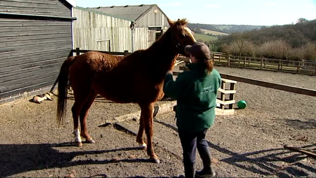 vídeos y material grabado en eventos de stock de horses rescued from neglect make remarkable recovery england buckinghamshire speen ext woman scratching nose of horse 'red' 'red' held by reins by... - buckinghamshire