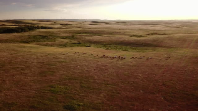 horses run over the prairies in the badlands. - prärie stock-videos und b-roll-filmmaterial