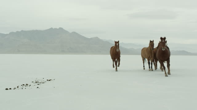 stockvideo's en b-roll-footage met horses running across salt flats. - bonneville zoutvlakte